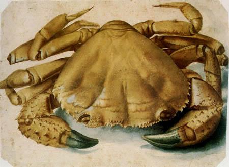 Albrecht Dürer - Ein Krebs
