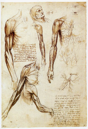 Leonardo da Vinci - Arm musculature and phlebography